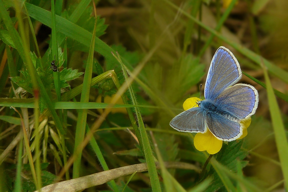 The Living Forest (49) : COMMON BLUE (male)
