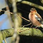 The Living Forest (495) : Chaffinch