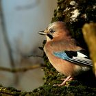 The Living Forest (496) : Jay
