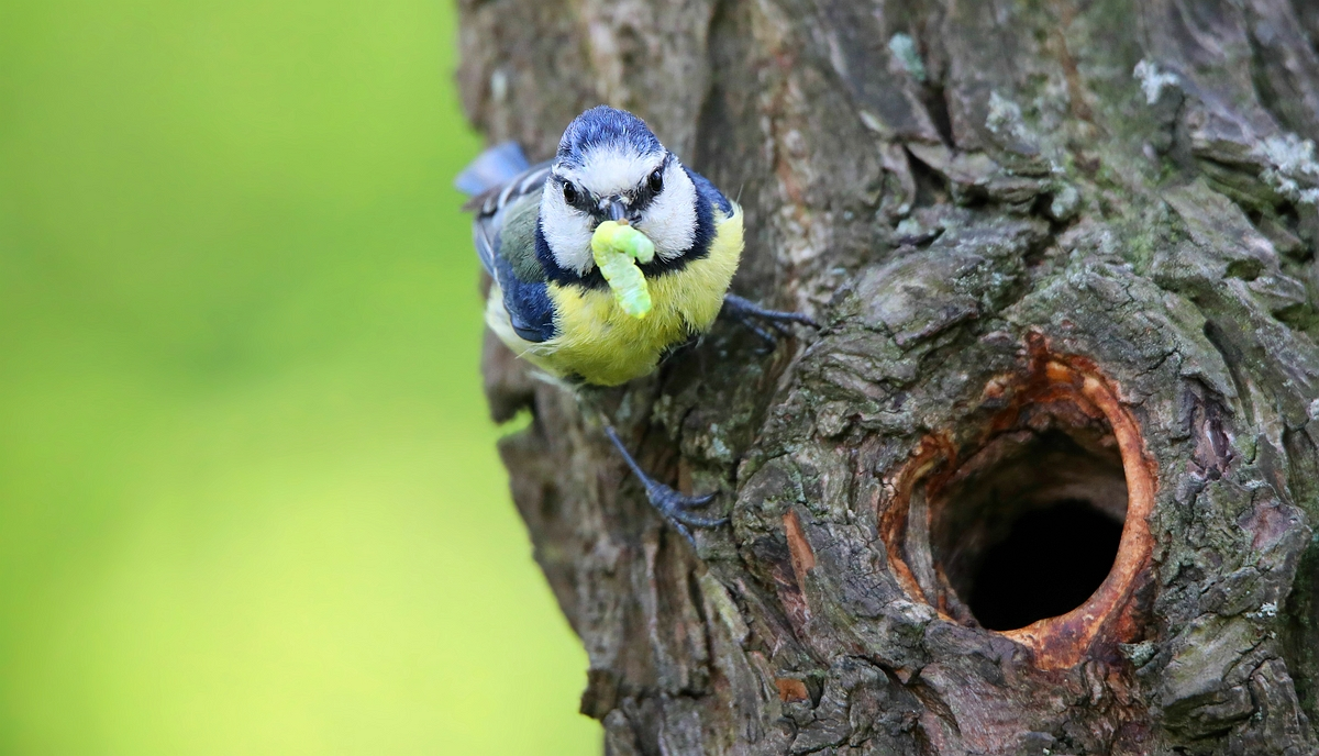 The Living Forest (508) : Blue Tit