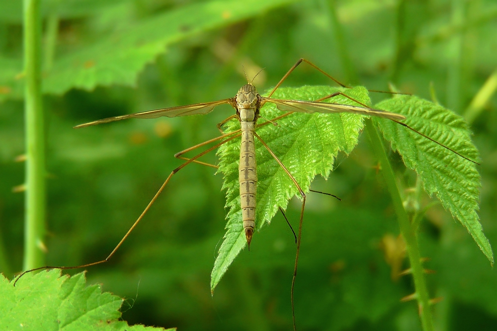 The Living Forest (51) : Crane fly (female)