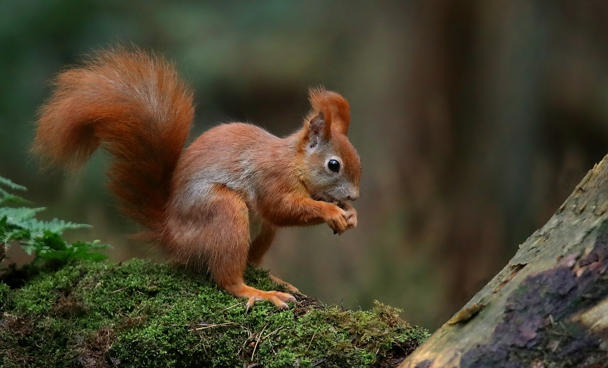 The Living Forest (532) : Red Squirrel