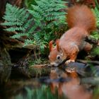The Living Forest (533) : Thirsty squirrel