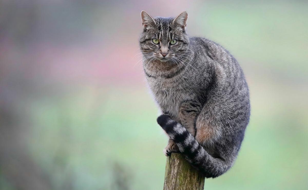 The Living Forest (543) : European Wildcat