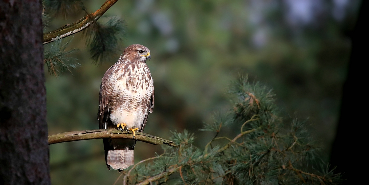 The Living Forest (544) : Buzzard
