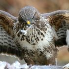 The Living Forest (545) : Buzzard