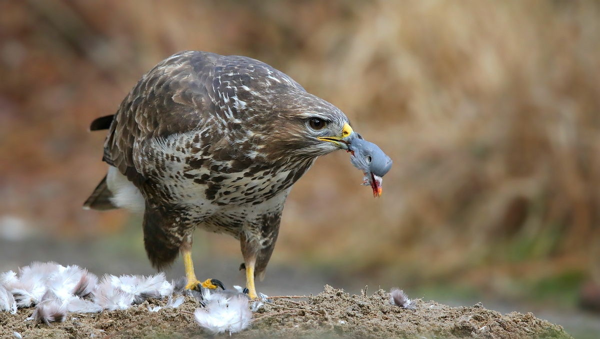 The Living Forest (546) : Buzzard