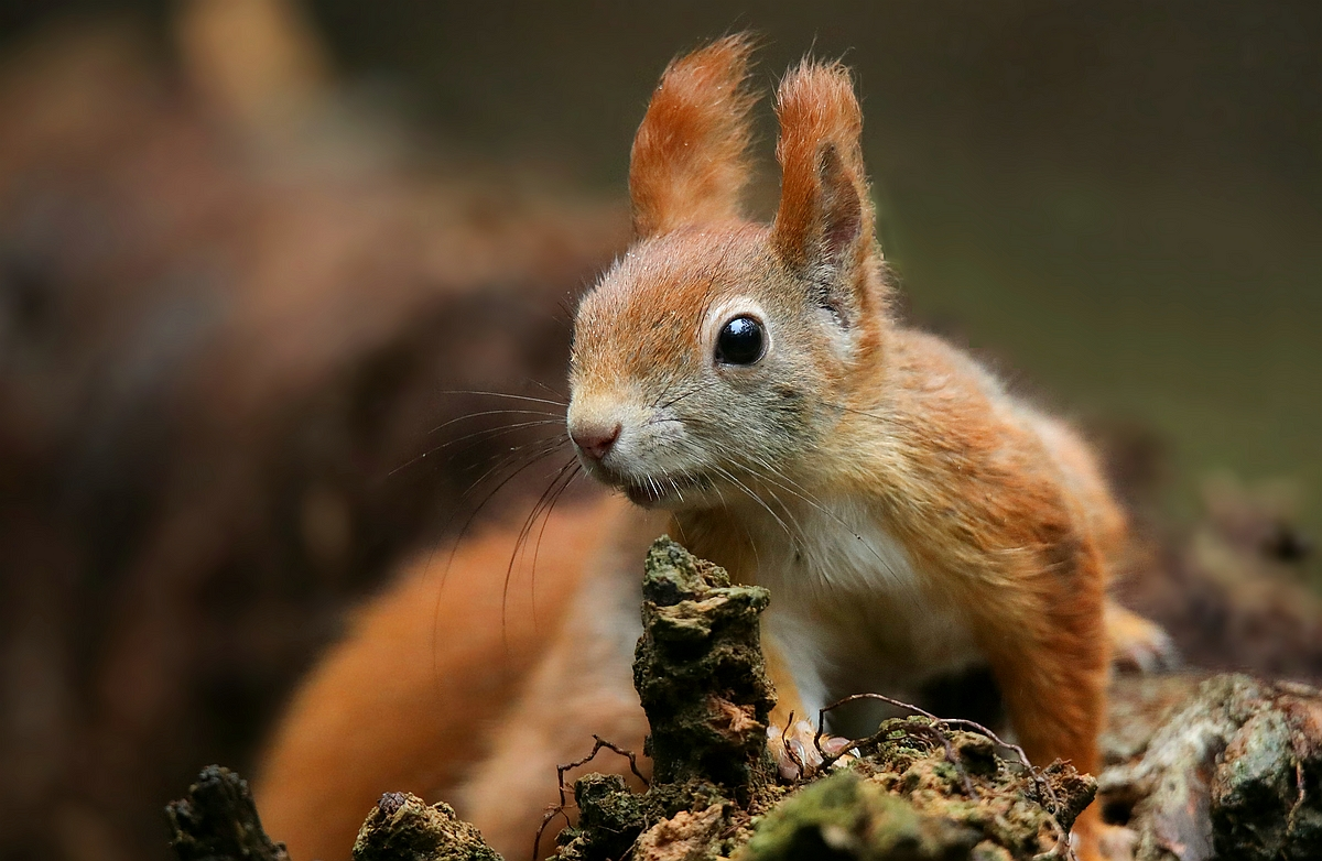 The Living Forest (553) : Red Squirrel