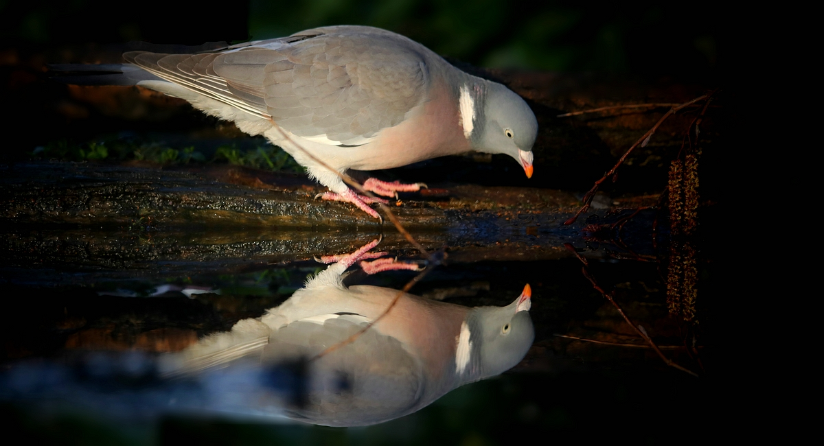 The Living Forest (564) : Wood Pigeon