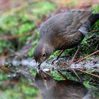 The Living Forest (567) : Blackbird