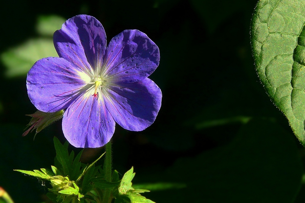 The Living Forest (57) : Meadow Cranesbill