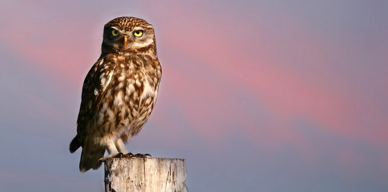 The Living Forest (573) : Little Owl