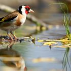 The Living Forest (583) : Goldfinch