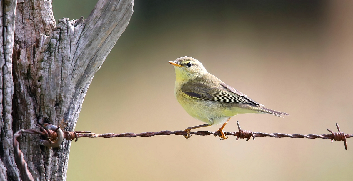 The Living Forest (584) : Willow Warbler