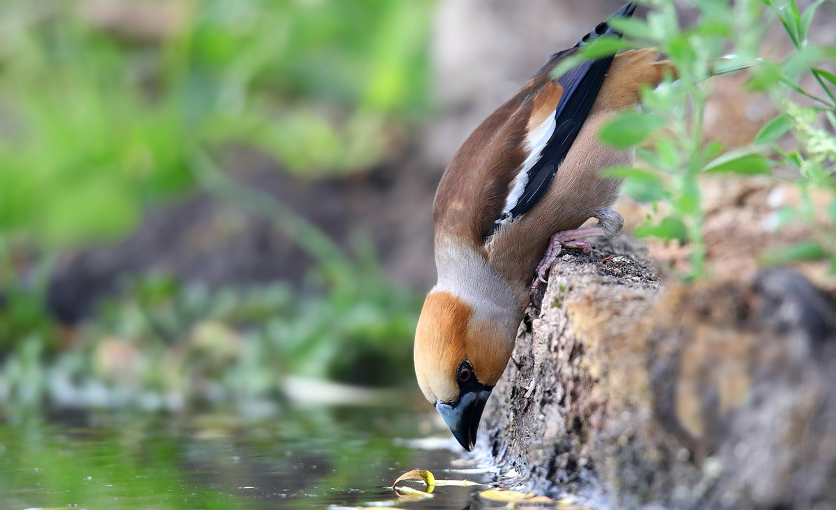 The Living Forest (586) : Hawfinch