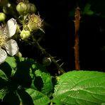 The Living Forest (59) : Blackberry blossom