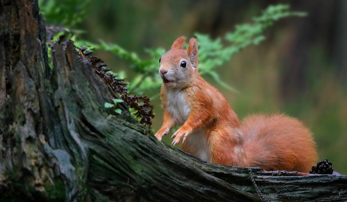 The Living Forest (595) : Red Squirrel