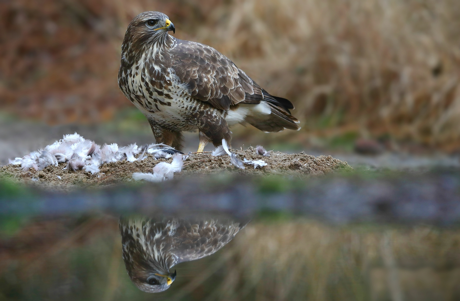 The Living Forest (599) : Buzzard