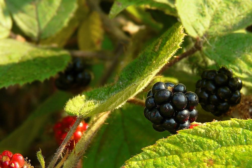 The Living Forest (60) : Blackberries