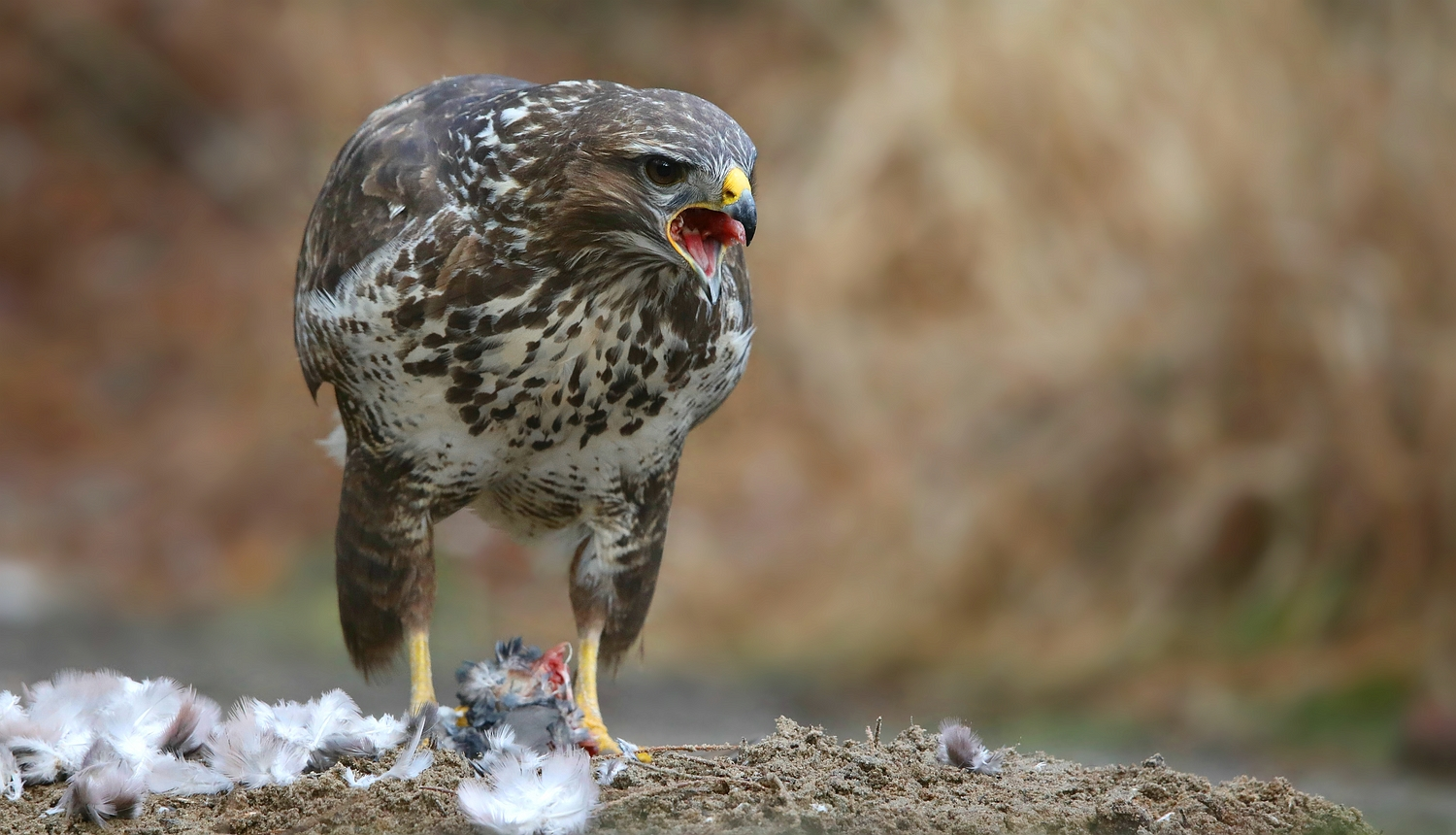 The Living Forest (600) : Buzzard