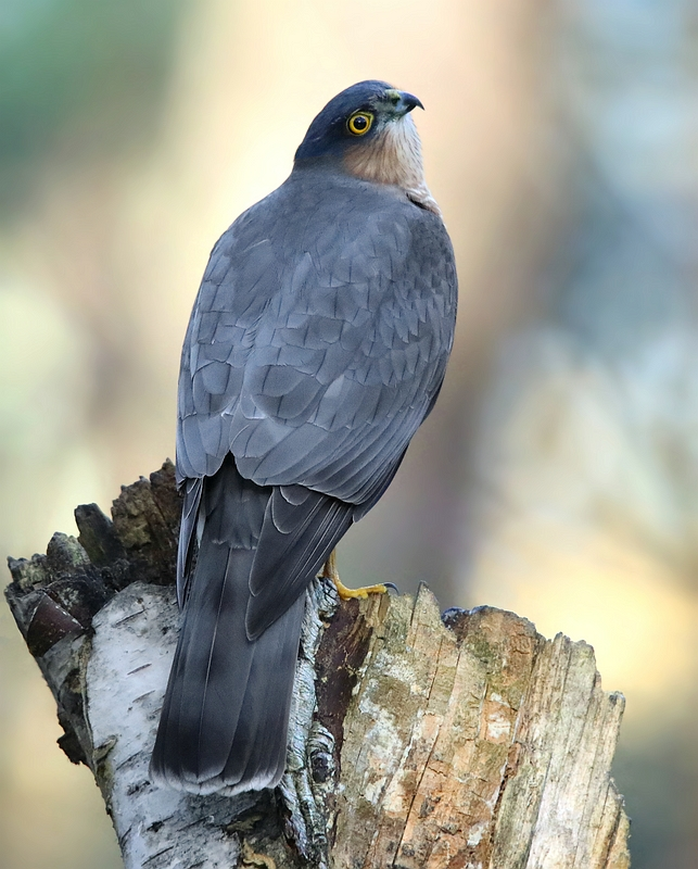 The Living Forest (606) : Sparrowhawk