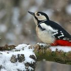 The Living Forest (607) : Great Spotted Woodpecker