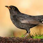 The Living Forest (615) : Blackbird