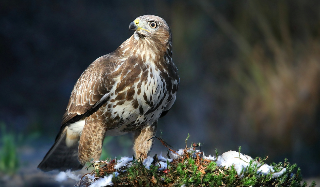 The Living Forest (616) : Buzzard
