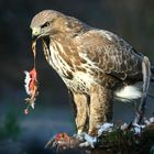 The Living Forest (617) : Buzzard
