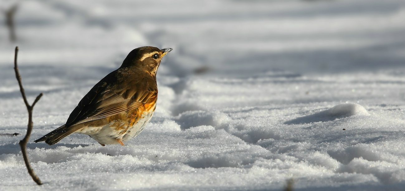The Living Forest (619) : Redwing