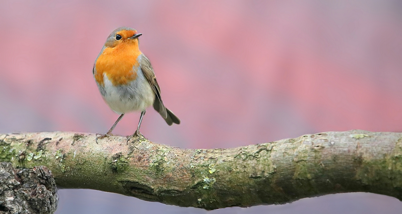 The Living Forest (623) : Robin