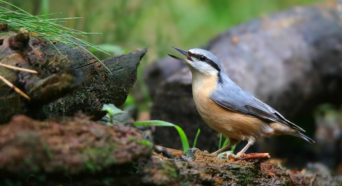 The Living Forest (625) : Nuthatch