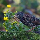 The Living Forest (626) : Starling