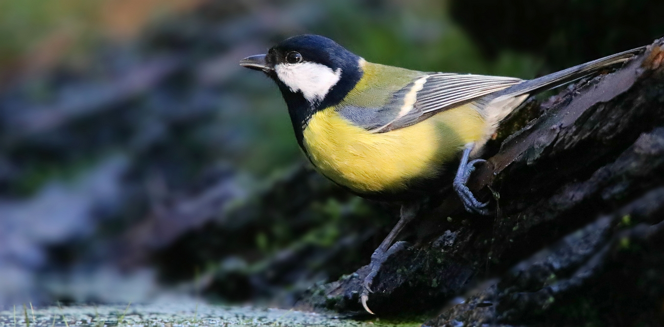 The Living Forest (627) : Great Tit
