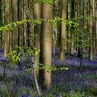 The Living Forest (629) : A sea of Bluebells