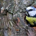 The Living Forest (631) : Blue Tit