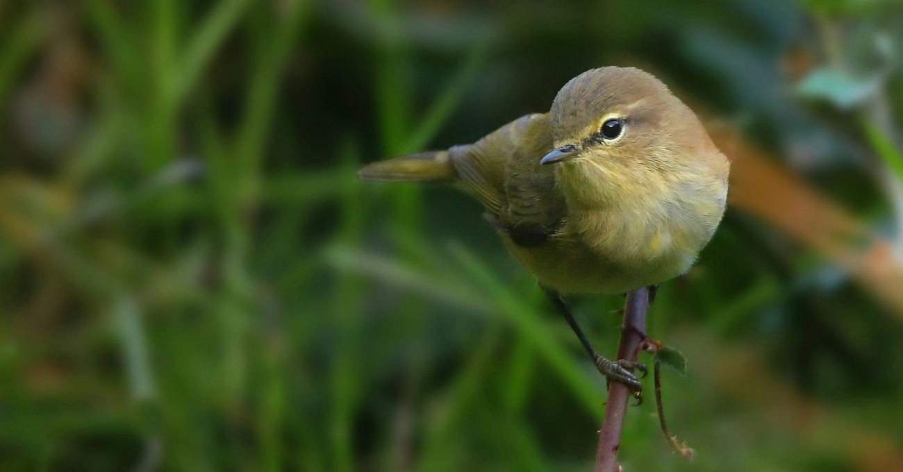 The Living Forest (632) : Chiffchaff