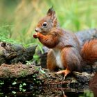 The Living Forest (633) : Red Squirrel
