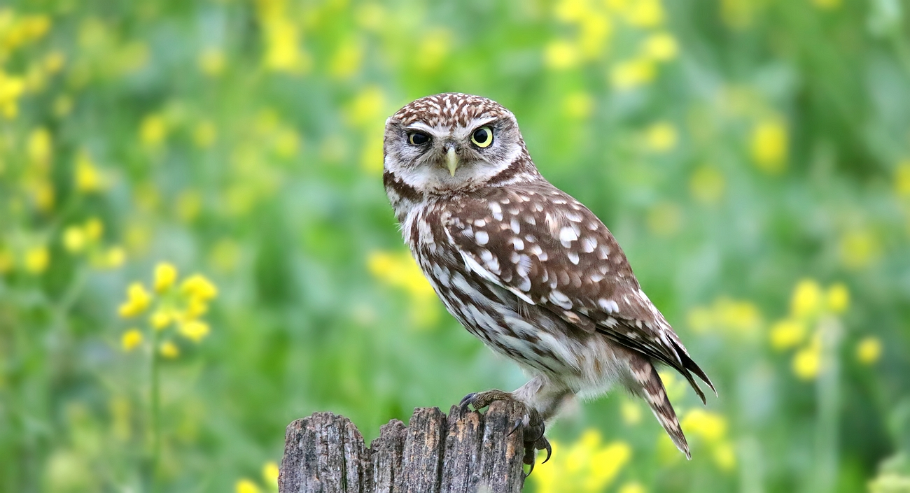 The Living Forest (638) : Little Owl