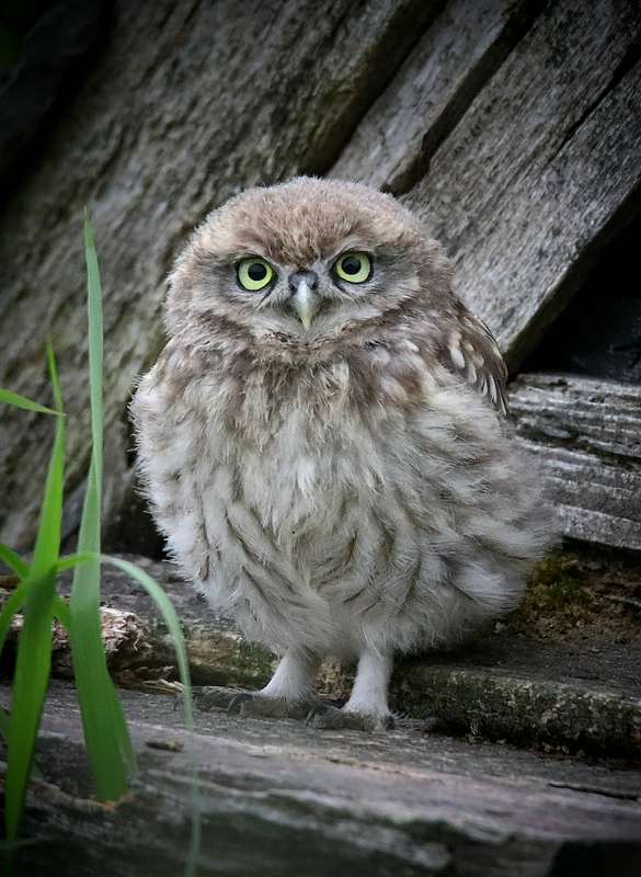 The Living Forest (639) : Little Owl chick