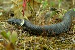 The Living Forest (64) : Grass snake