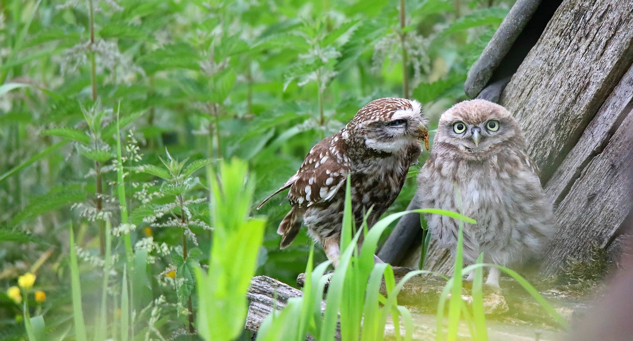 The Living Forest (640) : Little Owl
