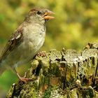 The Living Forest (7) : House Sparrow