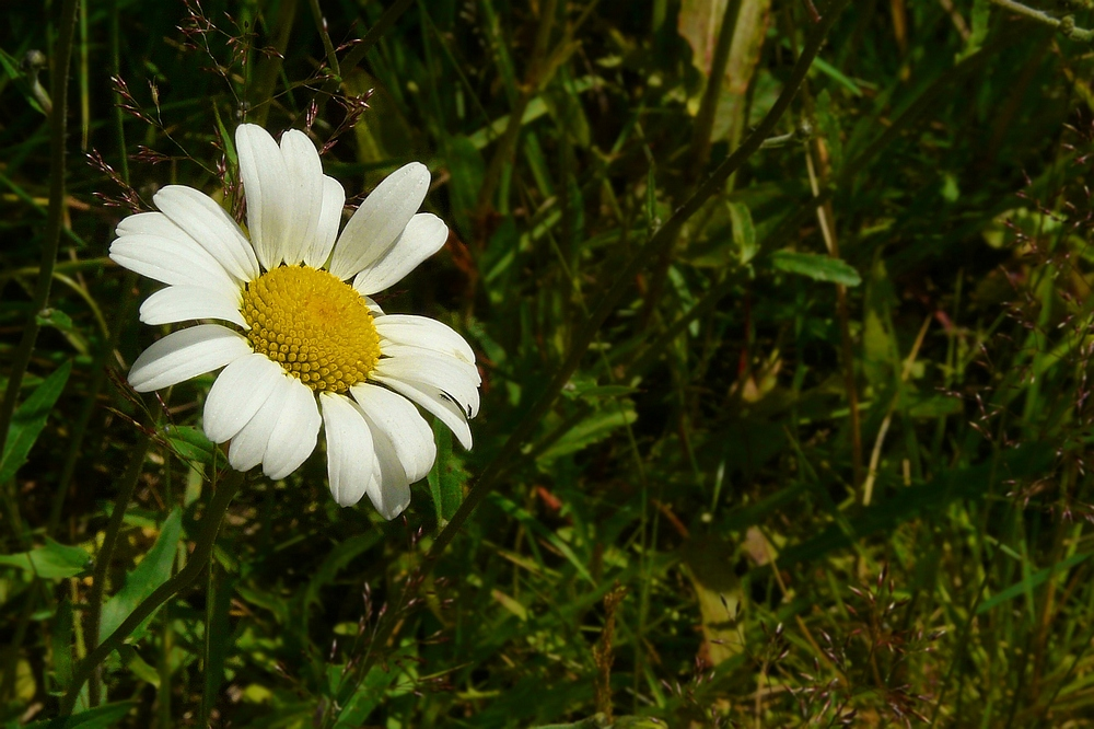 The Living Forest (80) : Oxeye Daisy