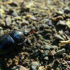 The Living Forest (81) : Dung Beetle