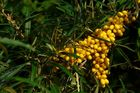 The Living Forest (95) : Sea Buckthorn