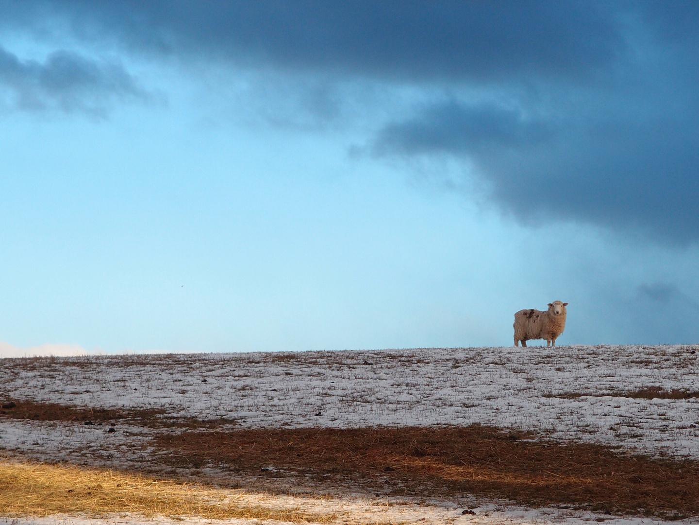 The lone sheep.