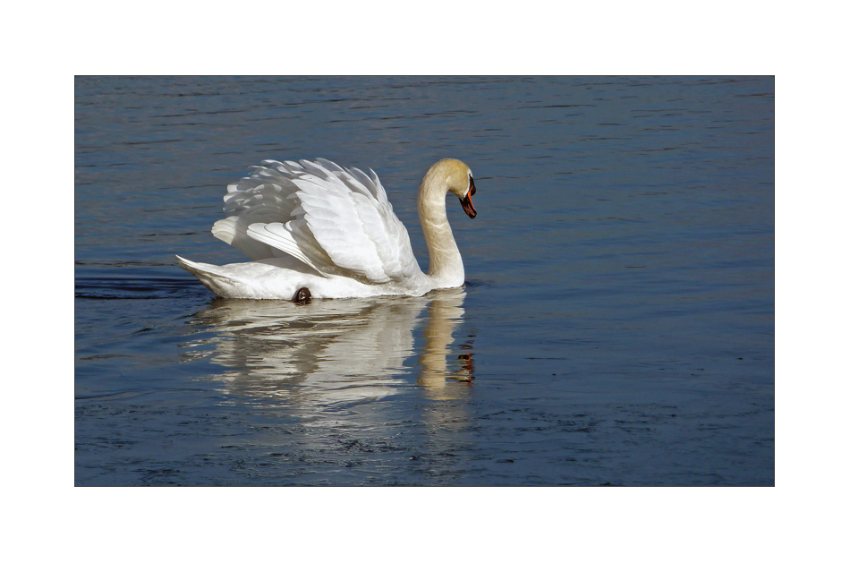 The lonely swan .......
