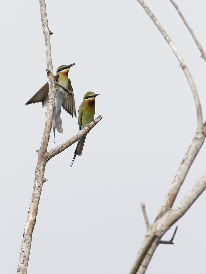 The loving couple ( Bee eater )