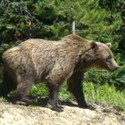 The mighty Grizzly Bear!